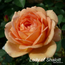 Lady of Shalott  (2009)