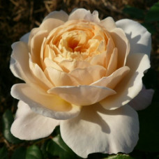 Crocus Rose (2000)