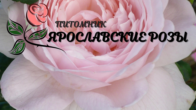 Ярославские Розы
